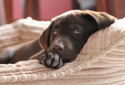 Chocolate lab in dog bed