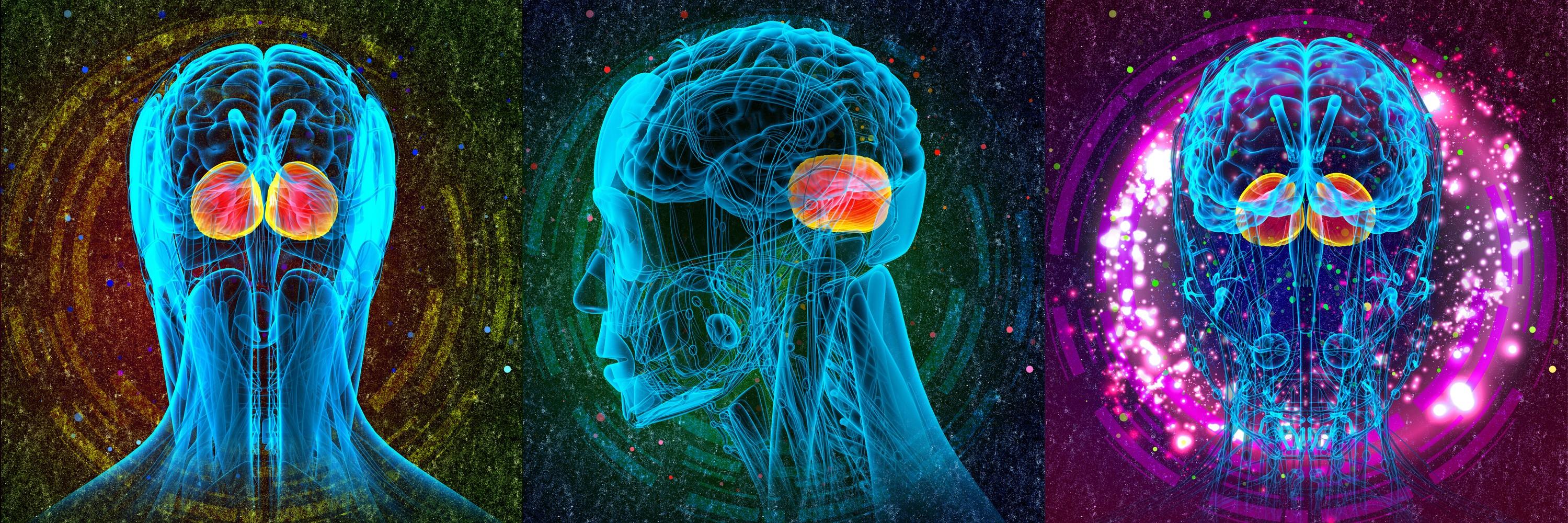 Amygdala portion of human brain