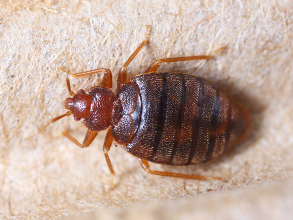 bed bug e1590087350269