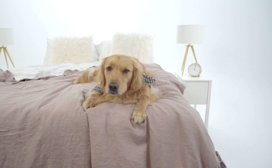 Golden retriever on Primary bedding duvet