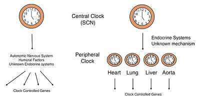 The body has other secondary or peripheral circadian clocks, located in various organs, but all are influenced by the central circadian clock in the suprachiasmatic nucleus (image from Science Direct)