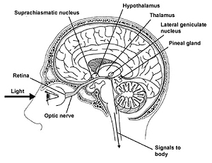 The body's circadian clock is located in the suprachiasmatic nucleus (SCN) in the hypothalamus (image from Psychology Continuing Education)