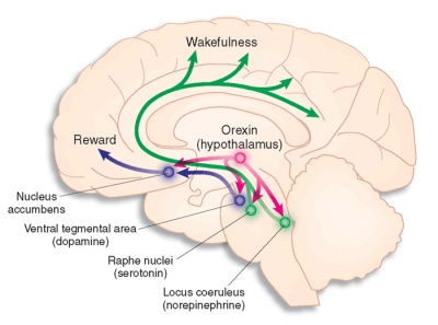 Sleep how sleep works neurological mechanisms of sleep orexin hypocretin is an important chemical in promoting wakefulnes image from nature medicine ccuart Image collections