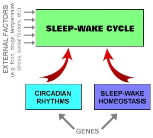 The sleep-wake cycle is regulated by two main processes (image by Luke Mastin)