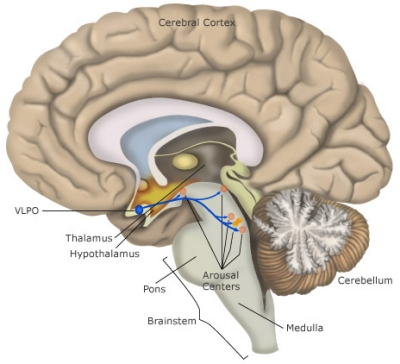 Sleep how sleep works neurological mechanisms of sleep the ventrolateral preoptic nucleus vlpo promotes sleep by inhibiting activity in the brains arousal ccuart Image collections